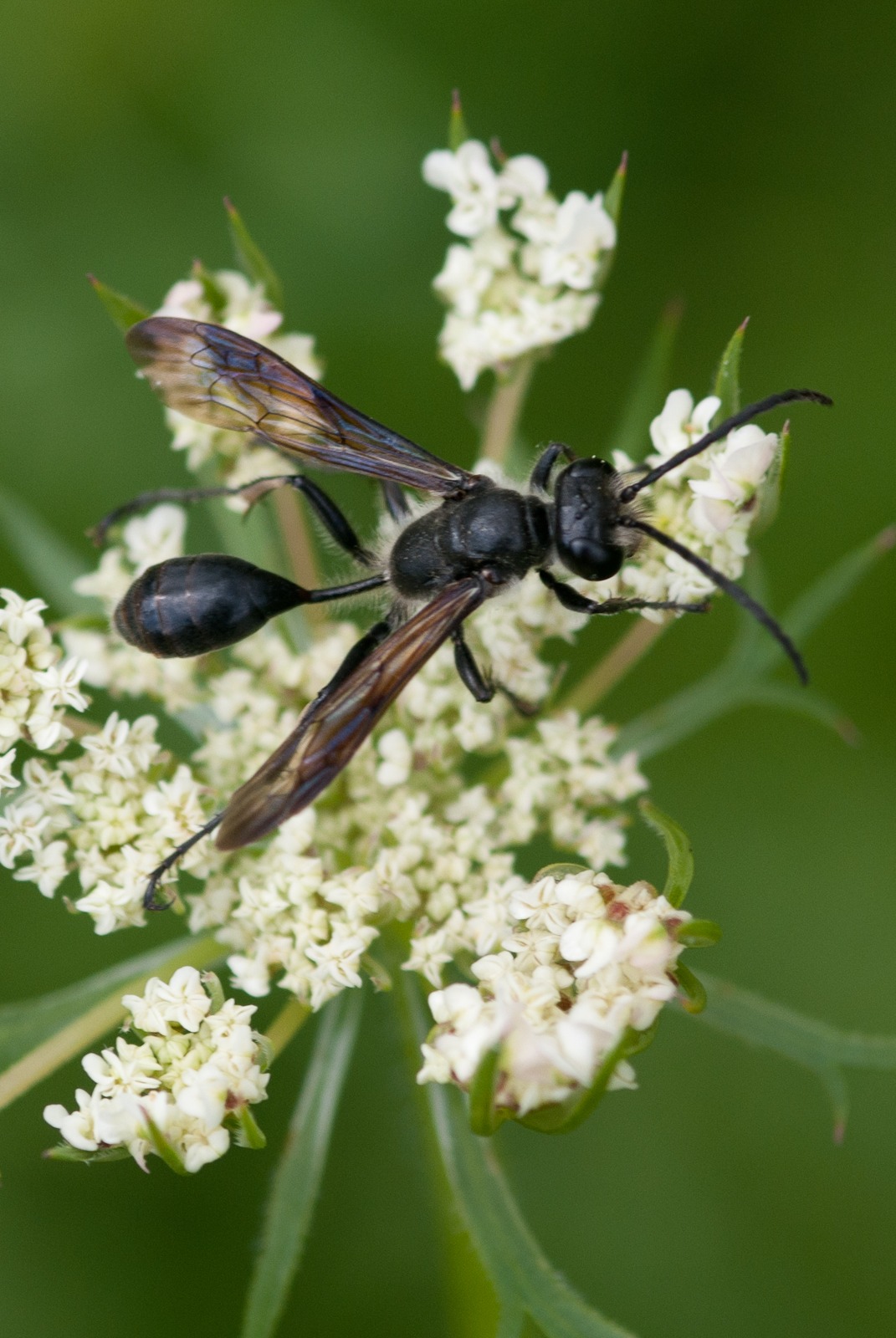 black grass carrying wasp on queen anne s lace flower
