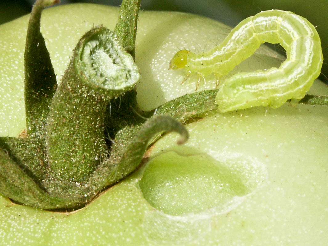 cabbage looper inchworm on green tomato stem