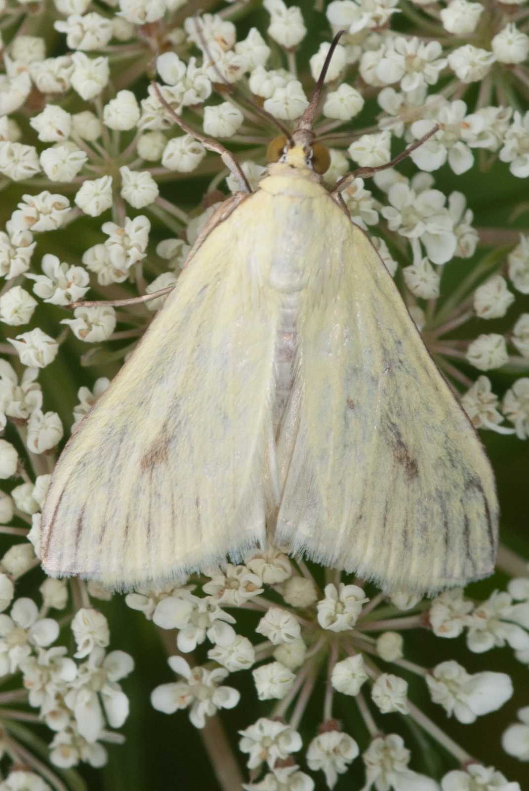 White Moth On Queen Annes Lace Flower