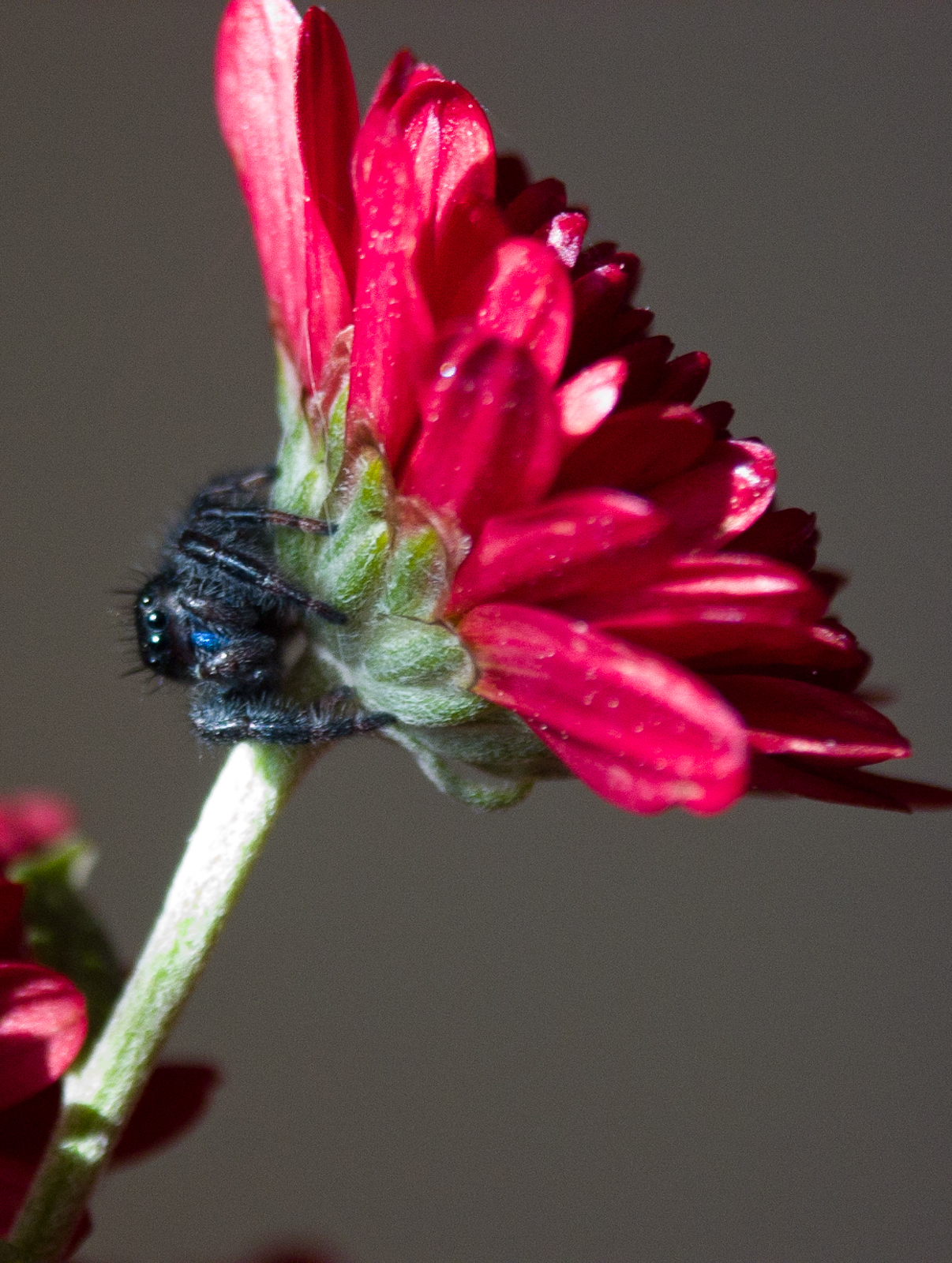Black jumping spider with red dot - photo#48