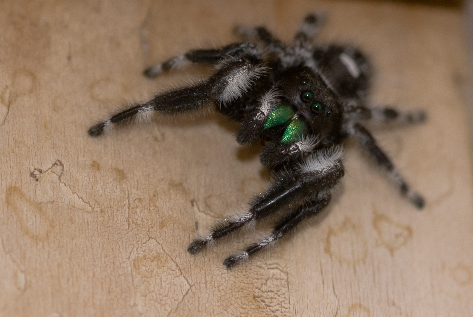 White and Black Jumping Spider With Green Fangs