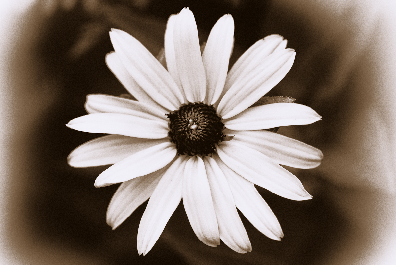 Black and white antique black eyed susan flower Black eyed susans