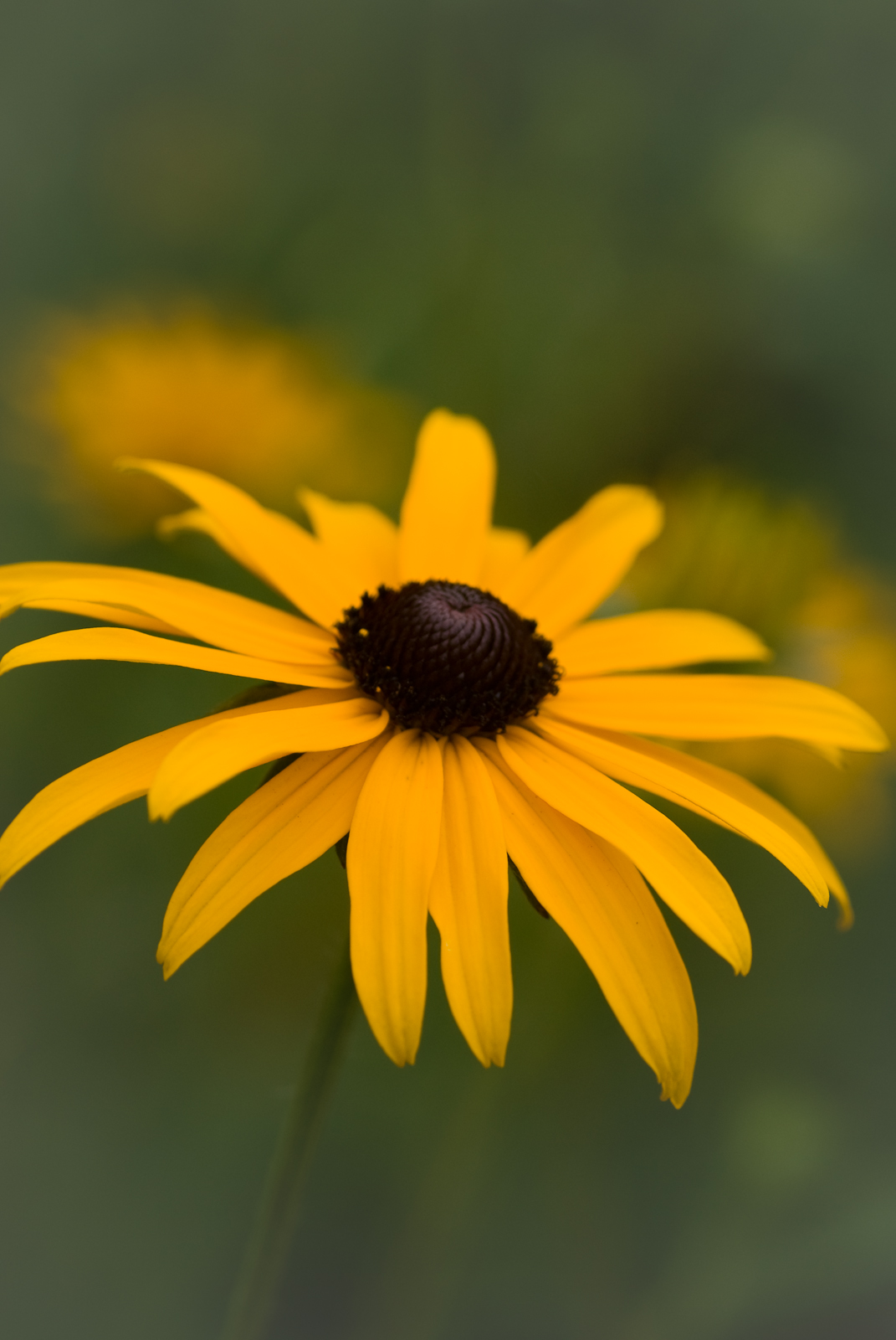 A black eyed susan flower Black eyed susans