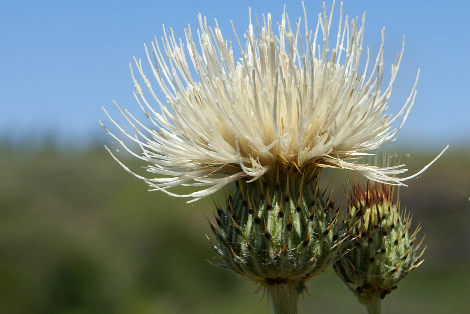 White Thistle Bloom Idaho