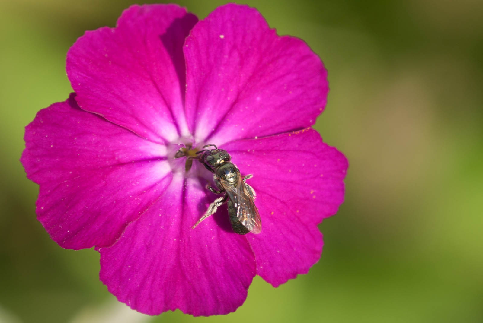 A bright pink rose campion flower view full size mightylinksfo Choice Image