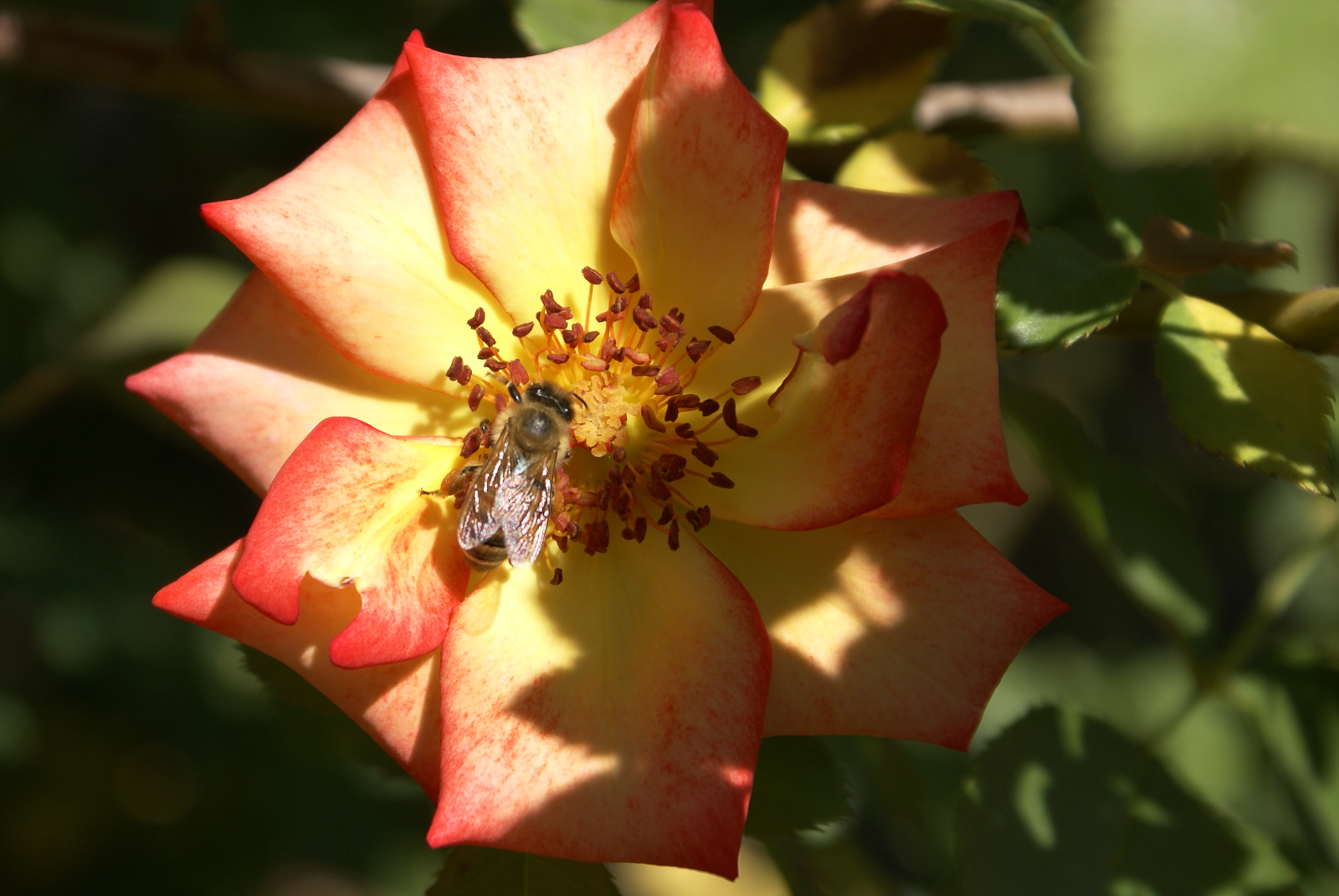 Rose Betty Boop Yellow Center To Red Edges Full Bloom