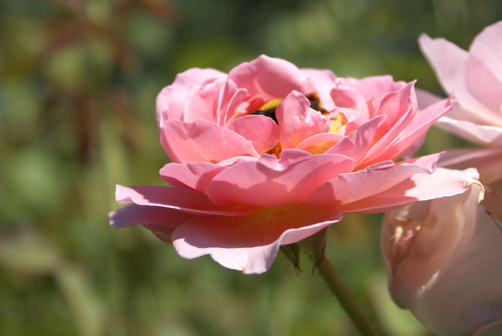 Rose - 'Belle Story' - Yellow Center - Pink Petals