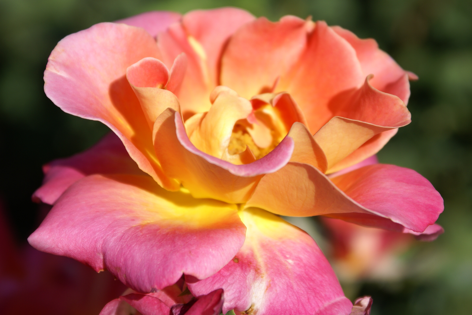 Rose multicolor yellow orange and pink view full size mightylinksfo
