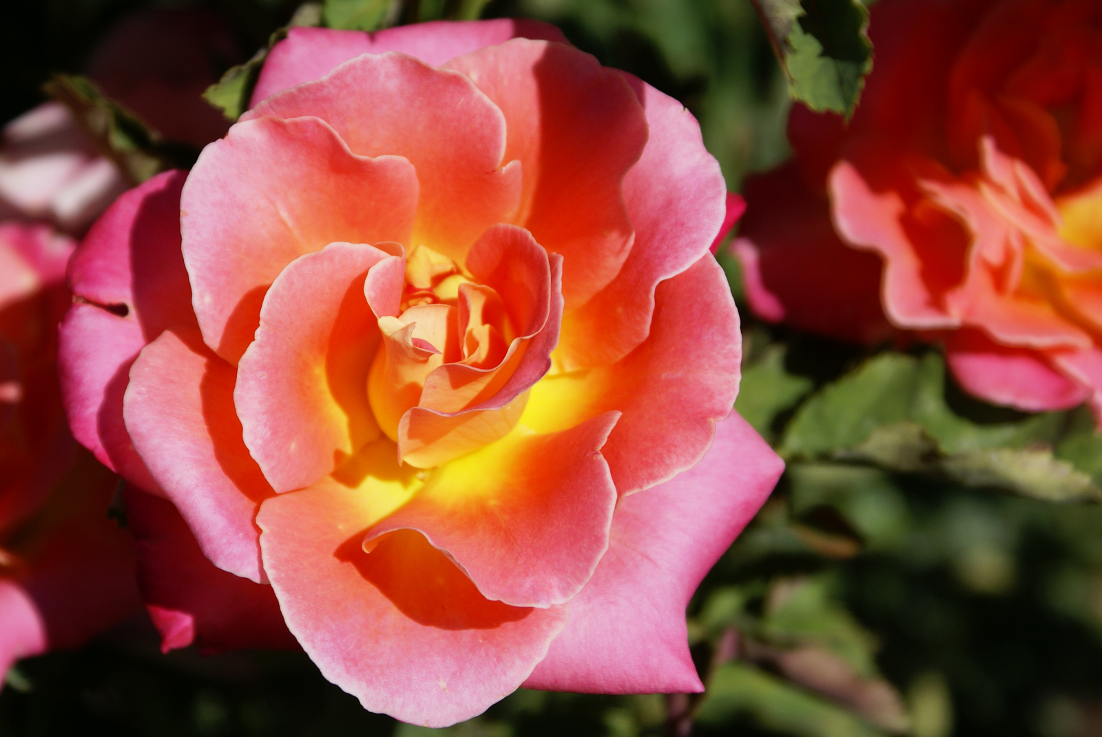 Rose Yellow Center With Orange And Pink Petals