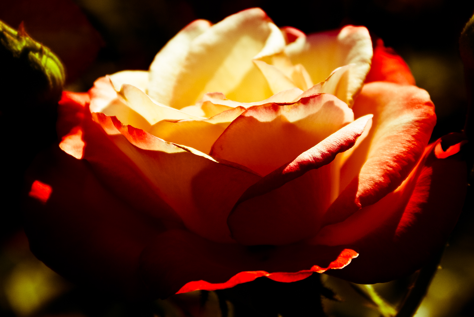 A Yellow Rose With Red Edges Dark Background