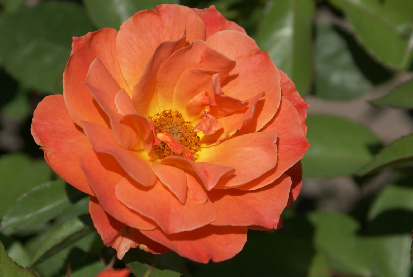 Rose Livin Easy Orange With Yellow Center