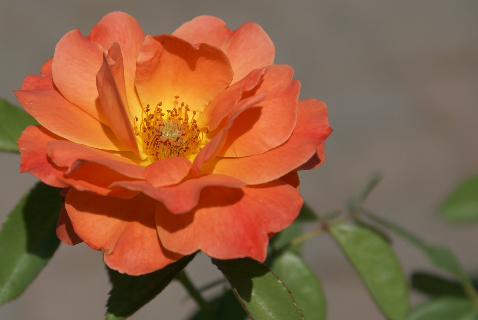 Rose Livin Easy Orange To Apricot With Yellow Center