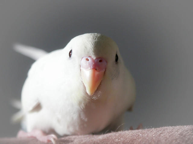 Our White Parakeet - Marshmallow