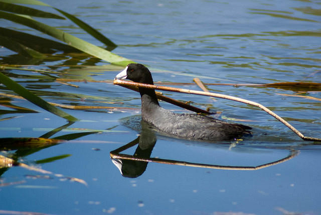 American Coot with Reed