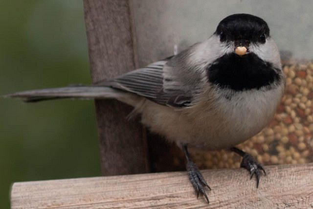 Black-capped Chickadee With Seed in Mouth