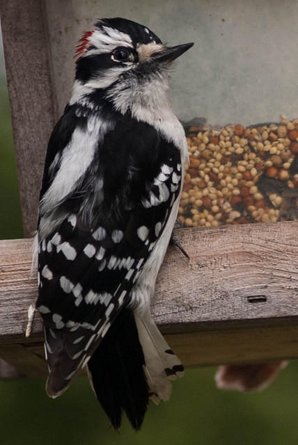 Black and White Downy Woodpecker at the Feeder