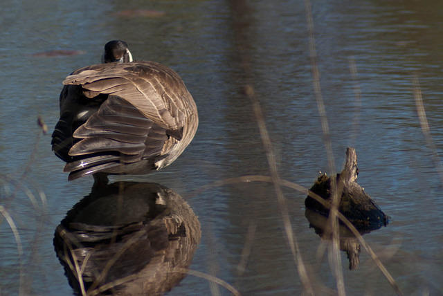 A Canadian Goose Standing In Water at Magee Marsh