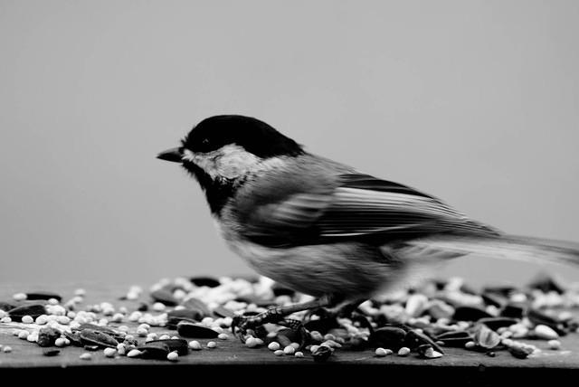 Chickadee on a Porch - Black and White