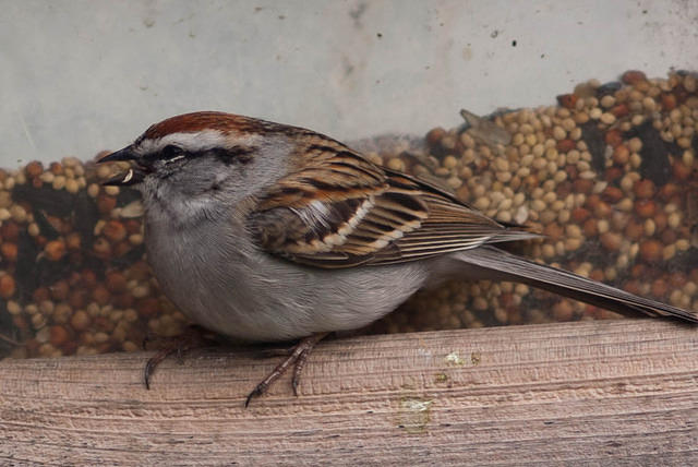 Chipping Sparrow at the Feeder