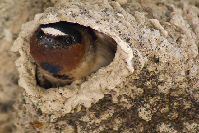Idaho - Cliff Swallow in Mud Nest