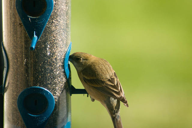 Female Lazuli Bunting at Thistle Feeder