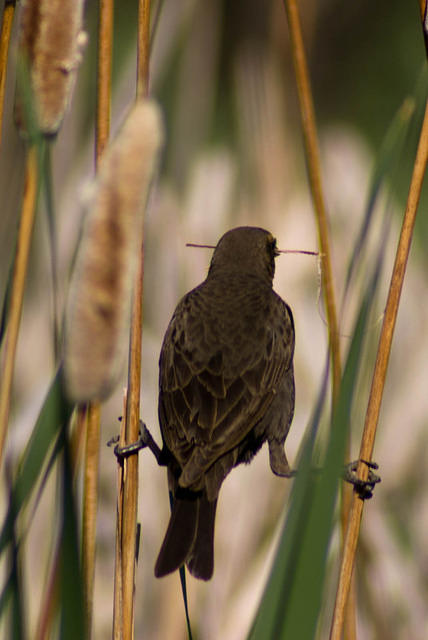Female Yellow-headed Blackbird in Cattails
