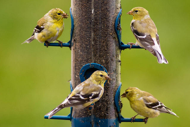 A Flock of Goldfinches on the Thistle Feeder
