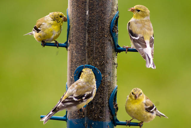 Four Molting Female Goldfinches at the Thistle Feeder