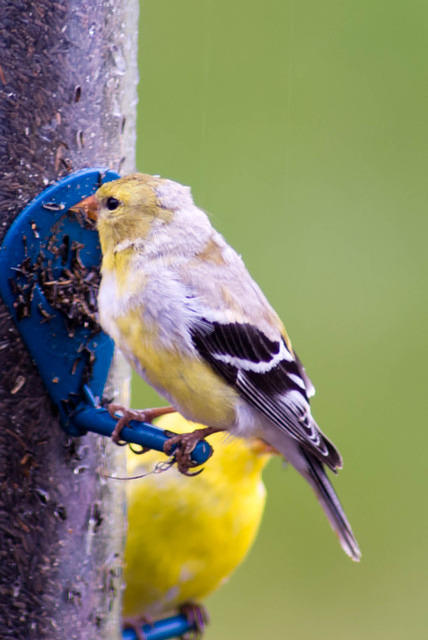 Goldfinch Molting Winter Feathers