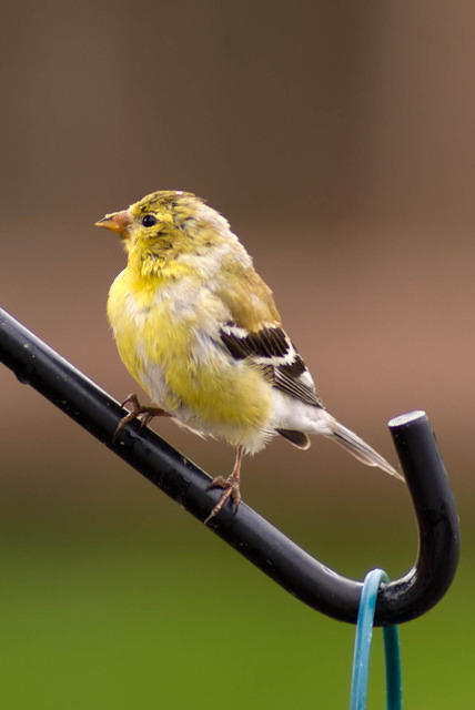Goldfinch Molting - Summer and Winter Feathers