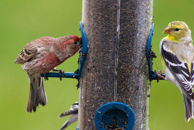 Red House Finch at Thistle Feeder