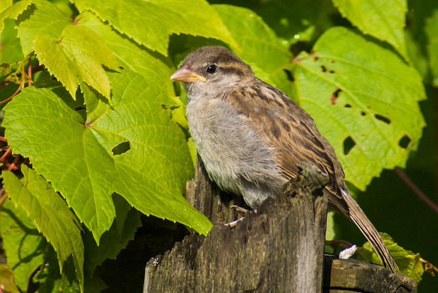 Young House Sparrow on a Fence Post - Ohio