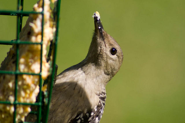 Juvenile Northern Flicker at the Suet Feeder