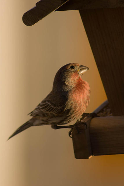 Male Purple House Finch Looking Up