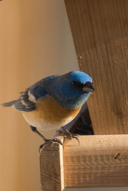 Male Lazuli Bunting at Feeder