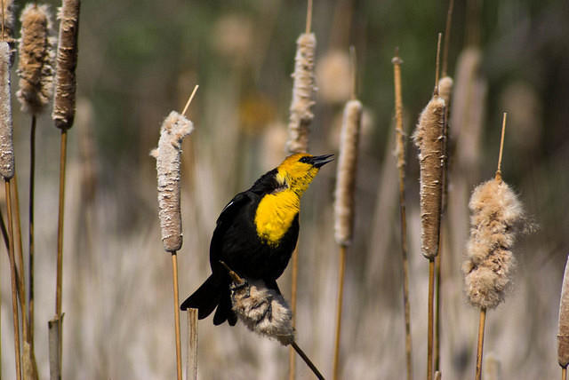 A Male Yellow-Headed Blackbird Perched in the Cattails