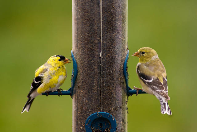 Male and Female Goldfinches on the Feeder