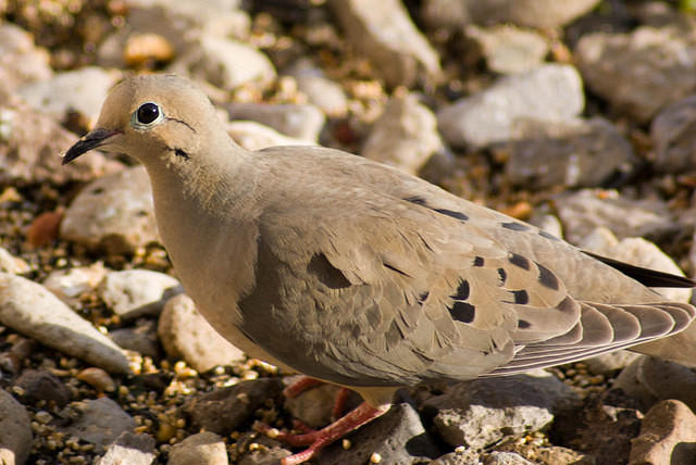 Mourning Dove in the Rocks