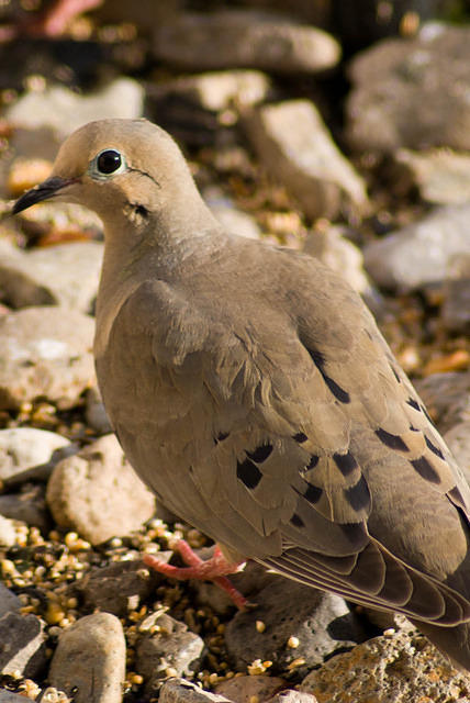 A Mourning Dove Standing on the Rocks
