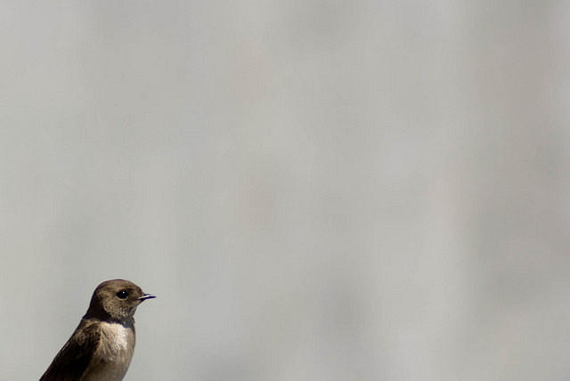 Northern Rough Winged Swallow in Idaho