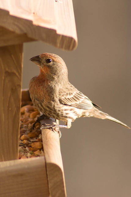 Orange House Finch at Feeder