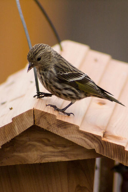 Pine Siskin Finch - Splash of Yellow on Wing
