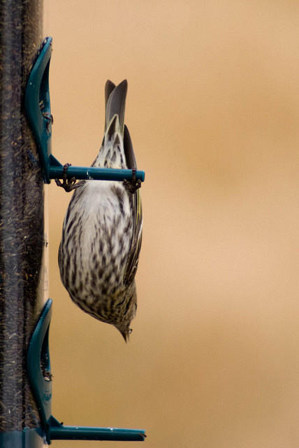 Pine Siskin Hanging Upside Down at Feeder