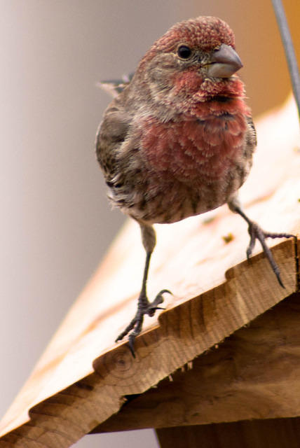 A Male Purple House Finch Sitting on the Feeder