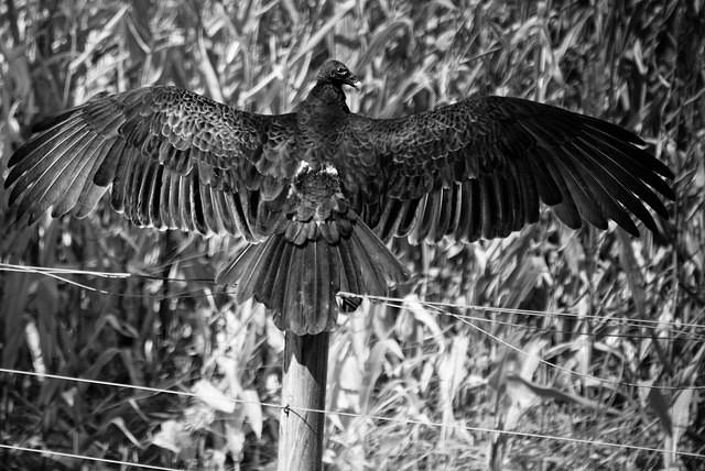 Turkey Vulture with Wings Spread on Fence Post