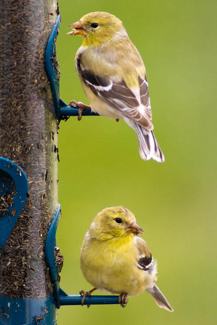 Two Yellow Goldfinches at the Feeder