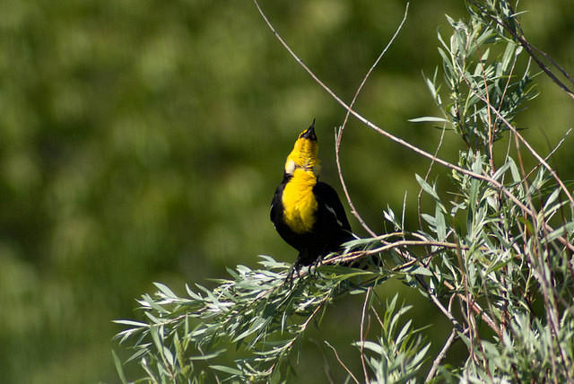 A Male Yellow-Headed Blackbird Calling Out