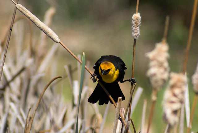 Yellow-Headed Blackbird in the Cattails