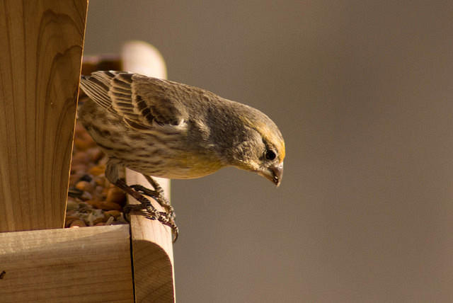 Last Chance - Yellow House Finch