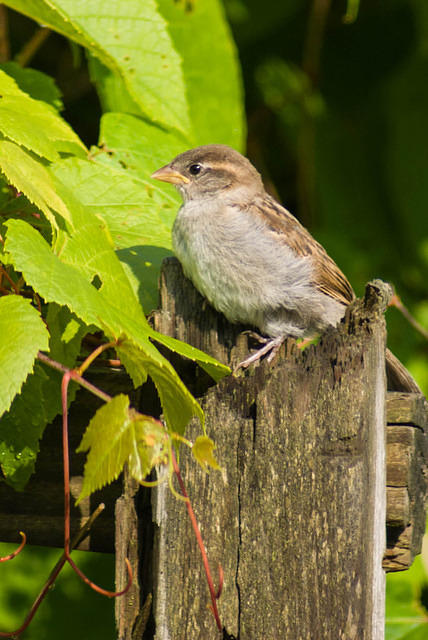 A Young House Sparrow on a Fence Post